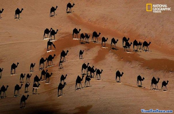 National Geographics Shadow Camels Optical Illusion