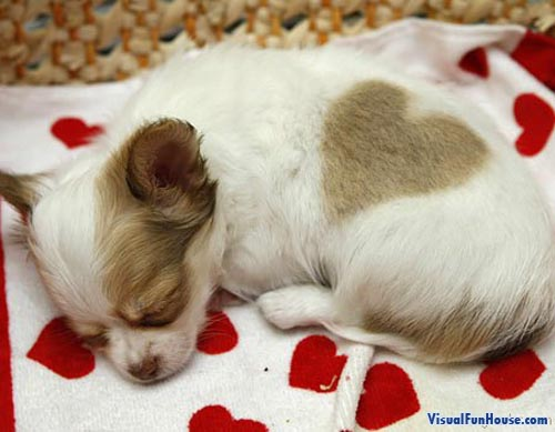 Sleeping heart puppy