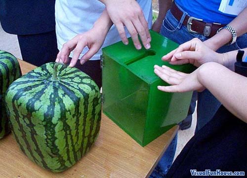 Japanese square watermelon growing in special acrylic boxes