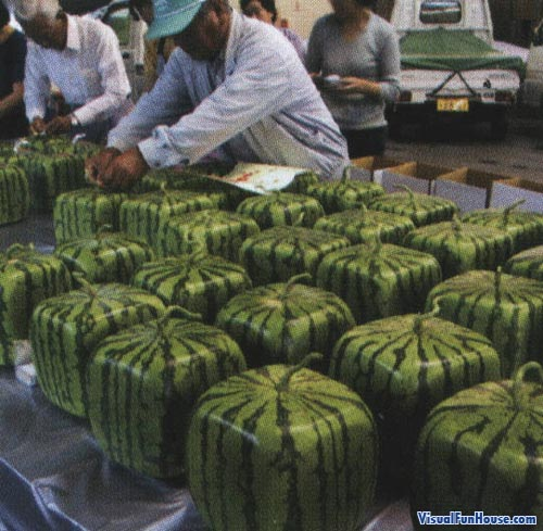 Japanese square watermelons are the perfect space saving idea.
