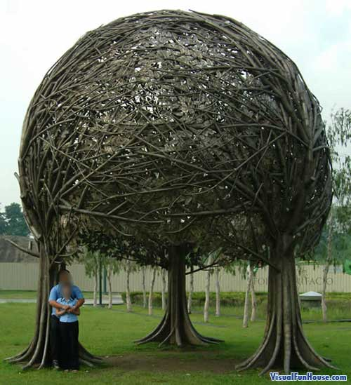 Three trees are intertwined together to create this one crazy tree canopy