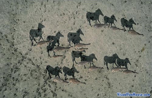 "Zebra ""stallion"" shadow optical illusion taken by National Geographic"