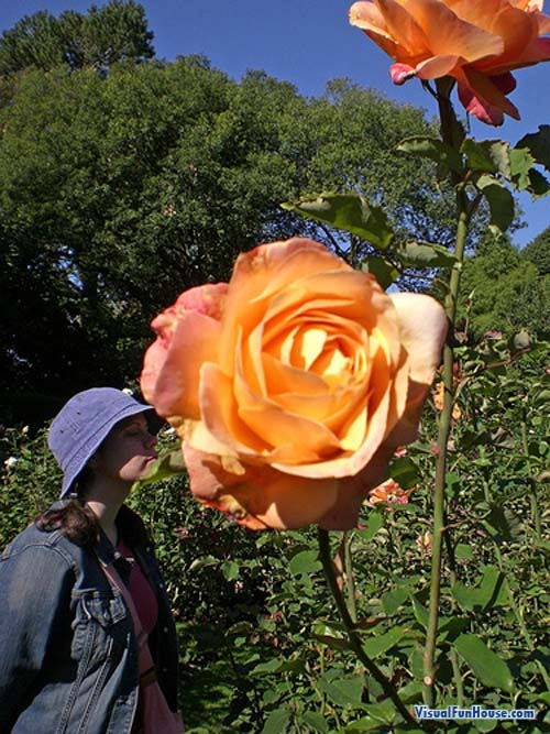 Worlds Largest rose!