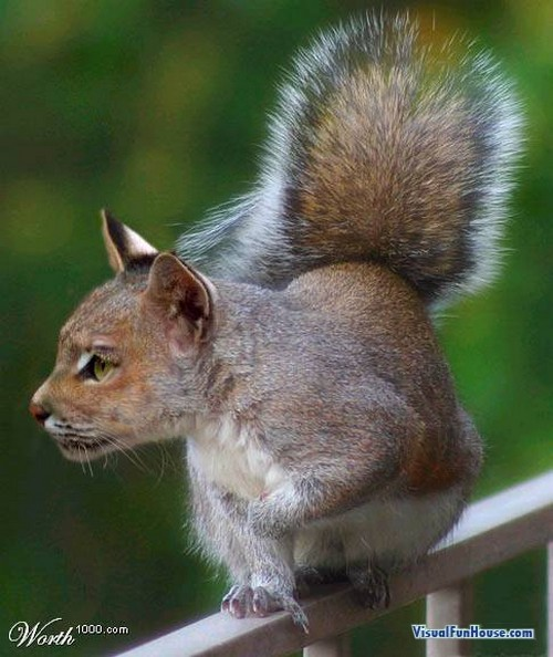 Cat Squirrel